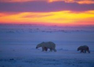 Obama reverses Bush policies that left the polar bear unprotected
