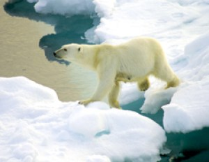 The fate of the polar bear rests with protections under the Endangered Species Act