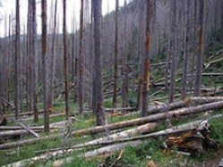 Bark beetle infestation devastates forest in the White Mountains of Arizona