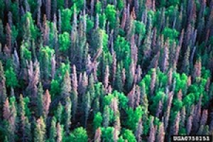 Beetle Damage. Western bark beetles are not invasive (native) in western U.S. forests. However, severe drought and unhealthy forest conditions over the last decade, along with unseasonably warm winters have led to extensive pine tree mortality throughout the west, especially in Colorado, Wyoming, and Montana