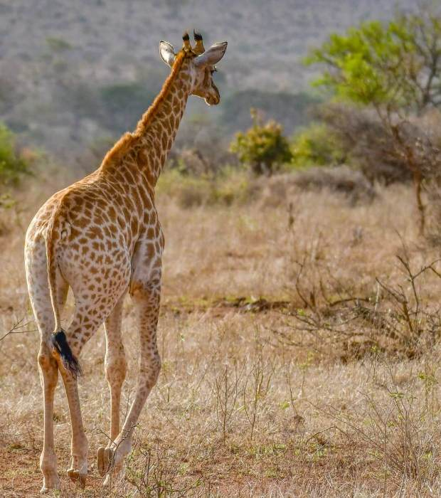 Globetrotters Travel and Tours Uganda Safaris giraffe