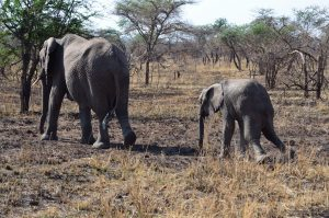 Mother Elephant BAby Elephant