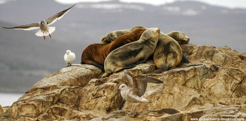 Sea lions on La Isla de Los Lobos, Beagle Channel, Ushuaia, Argentina
