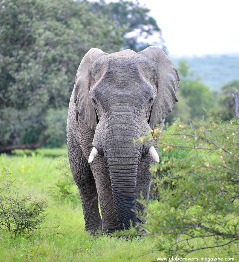 African Elephant, Mabula Private Reserve, SOUTH AFRICA