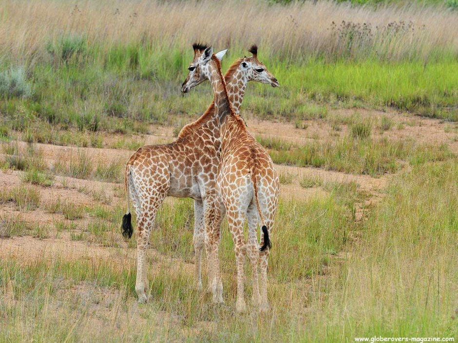 South African Giraffe, Leeupoort Private Reserve, SOUTH AFRICA