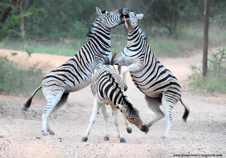 Zebra, Leeupoort Private Reserve, SOUTH AFRICA