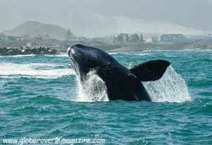 Hermanus-whales, South Africa