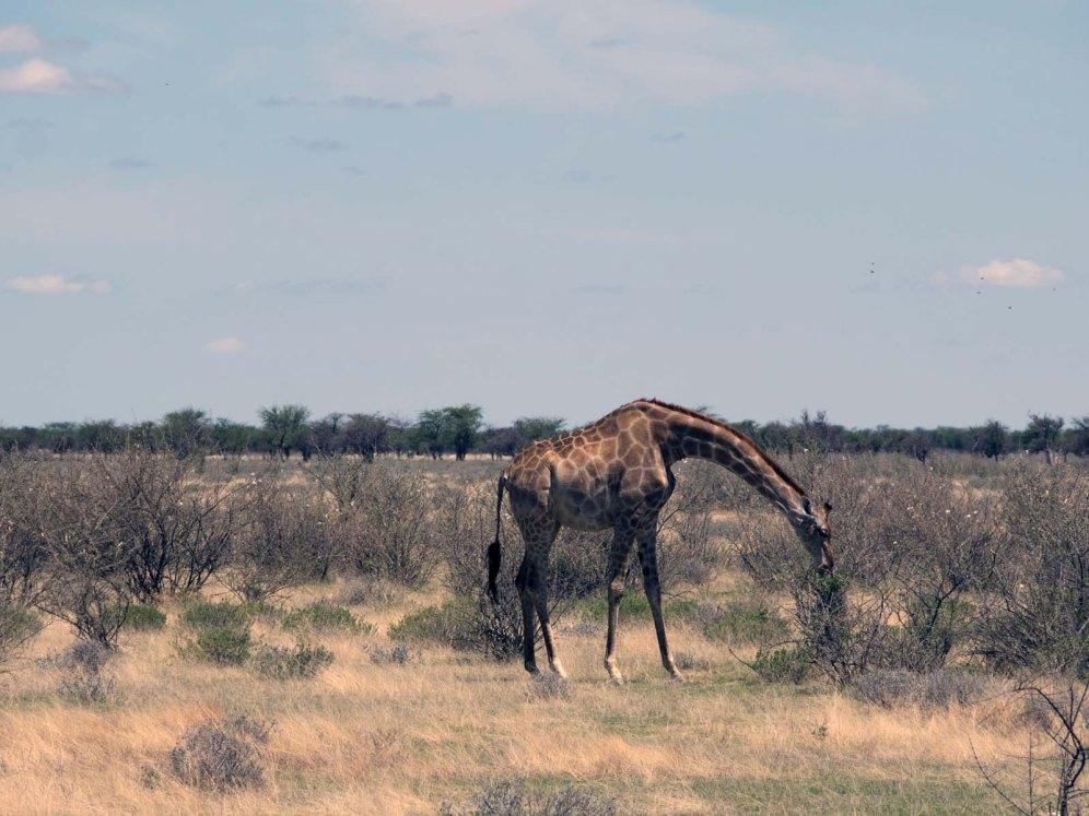 Namibia Puriy Giraffe