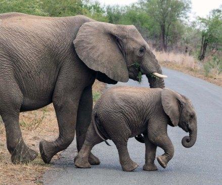 Südafrika Safari Nationalpark Elefanten