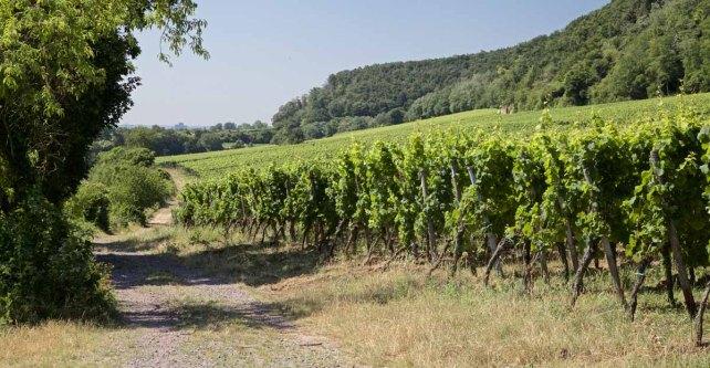 Deutsche Weinstrasse Wandern Pfalz - Wanderweg durch Reben