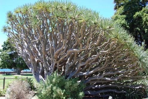Sydney-Botanischer-Garten-Baum