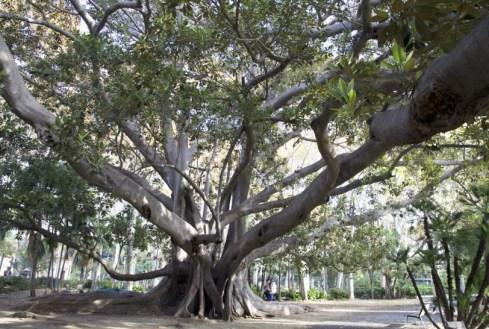 Catania-Sizilien-Baum