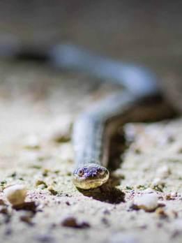 Anaconda im Pantanal