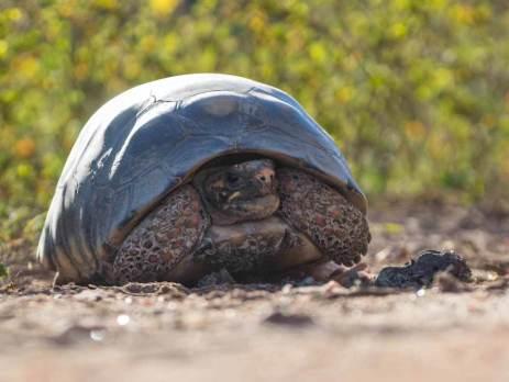 Schildkröte im Pantanal
