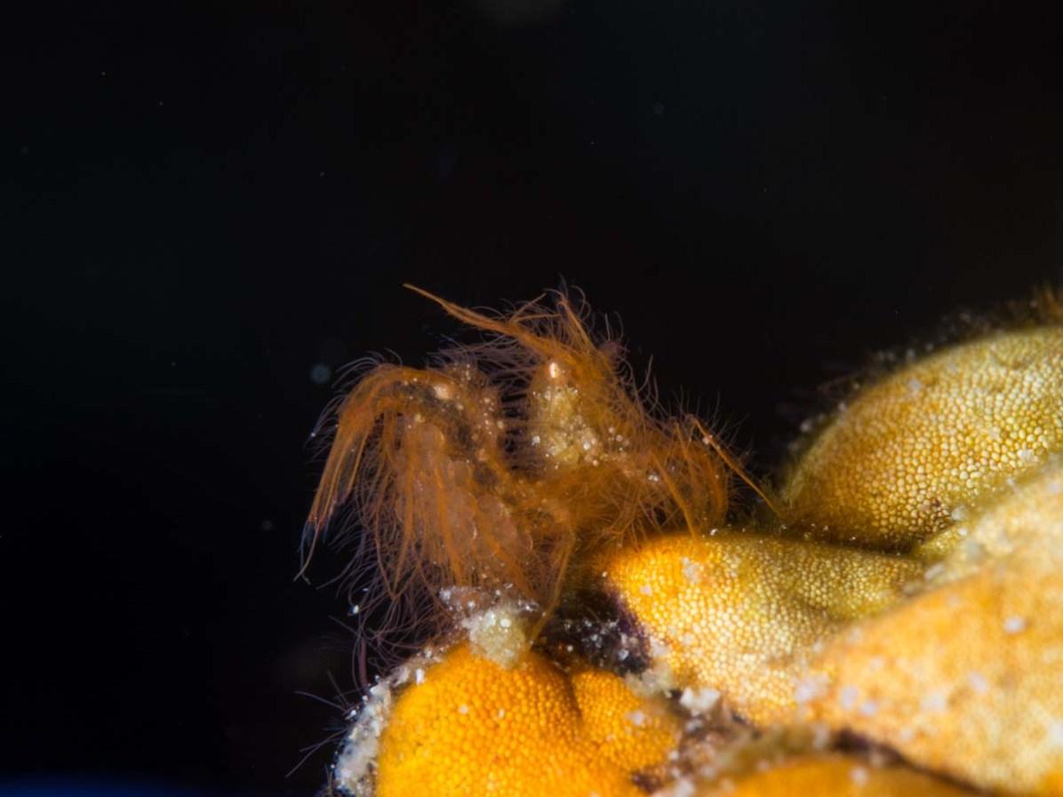 Eine haarige Garnele