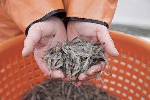 Die Nordsee Krabbenfischerei 12