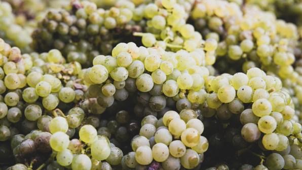 Aus diesen Trauben wird Wein und Sekt hergestellt.