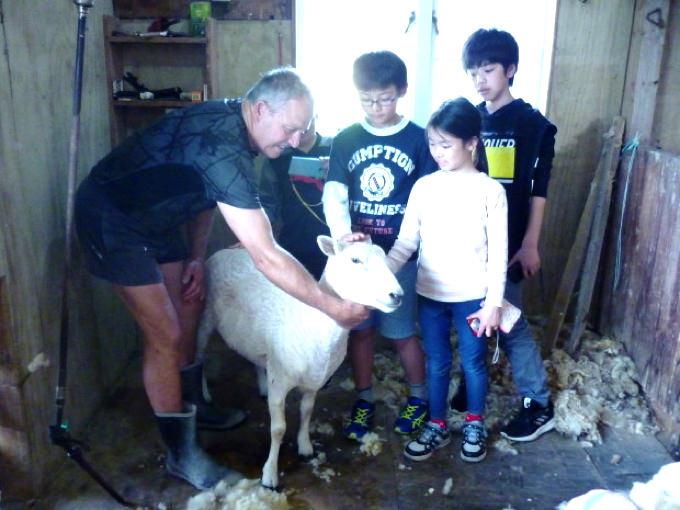 ニュージーランド単身子供留学12歳、羊の毛刈りにチャレンジ