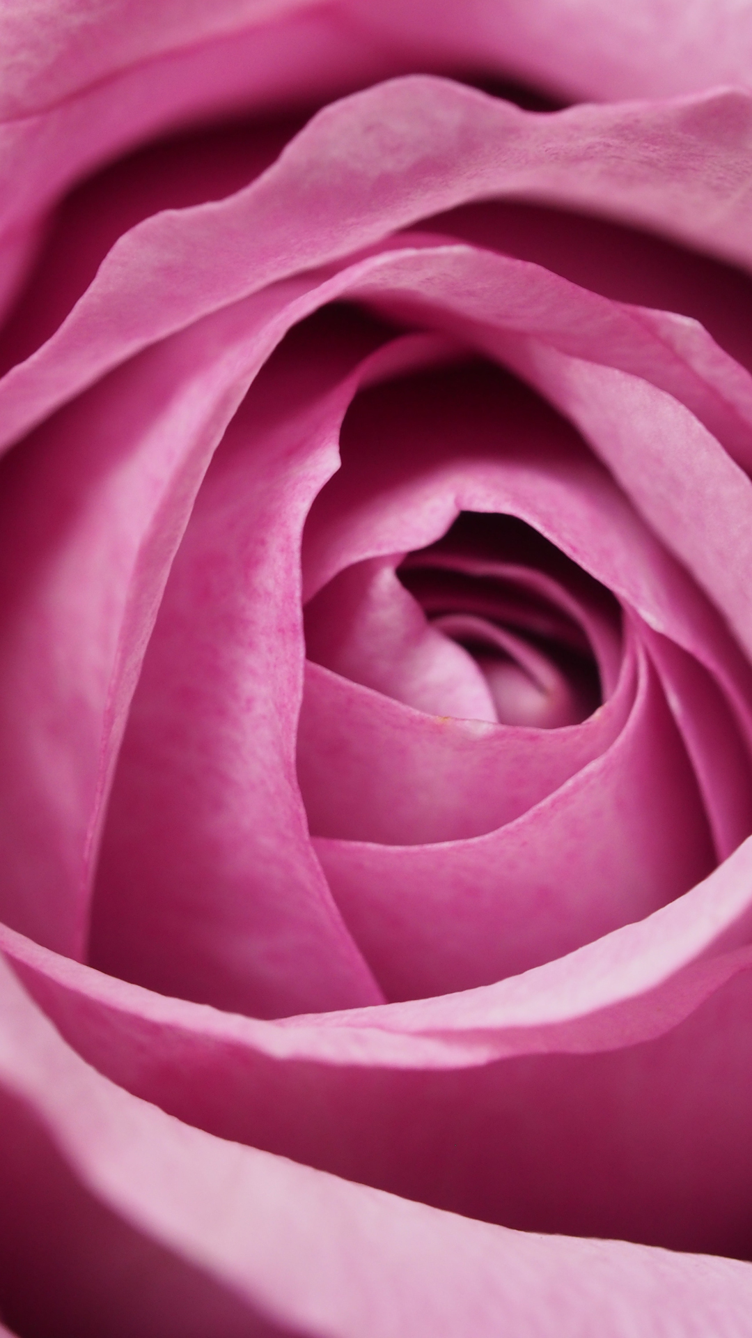 pink rose background
