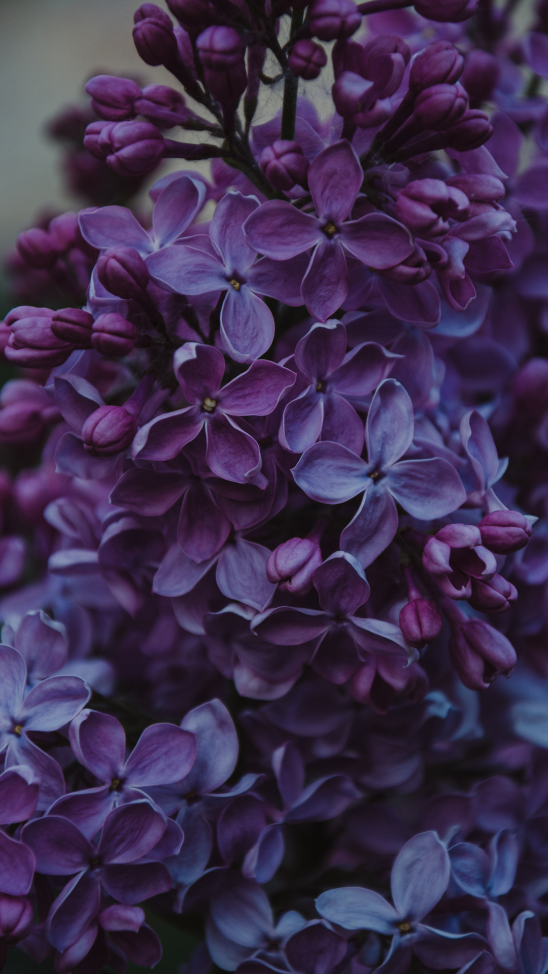 purple flowers wallpaper for iPhone