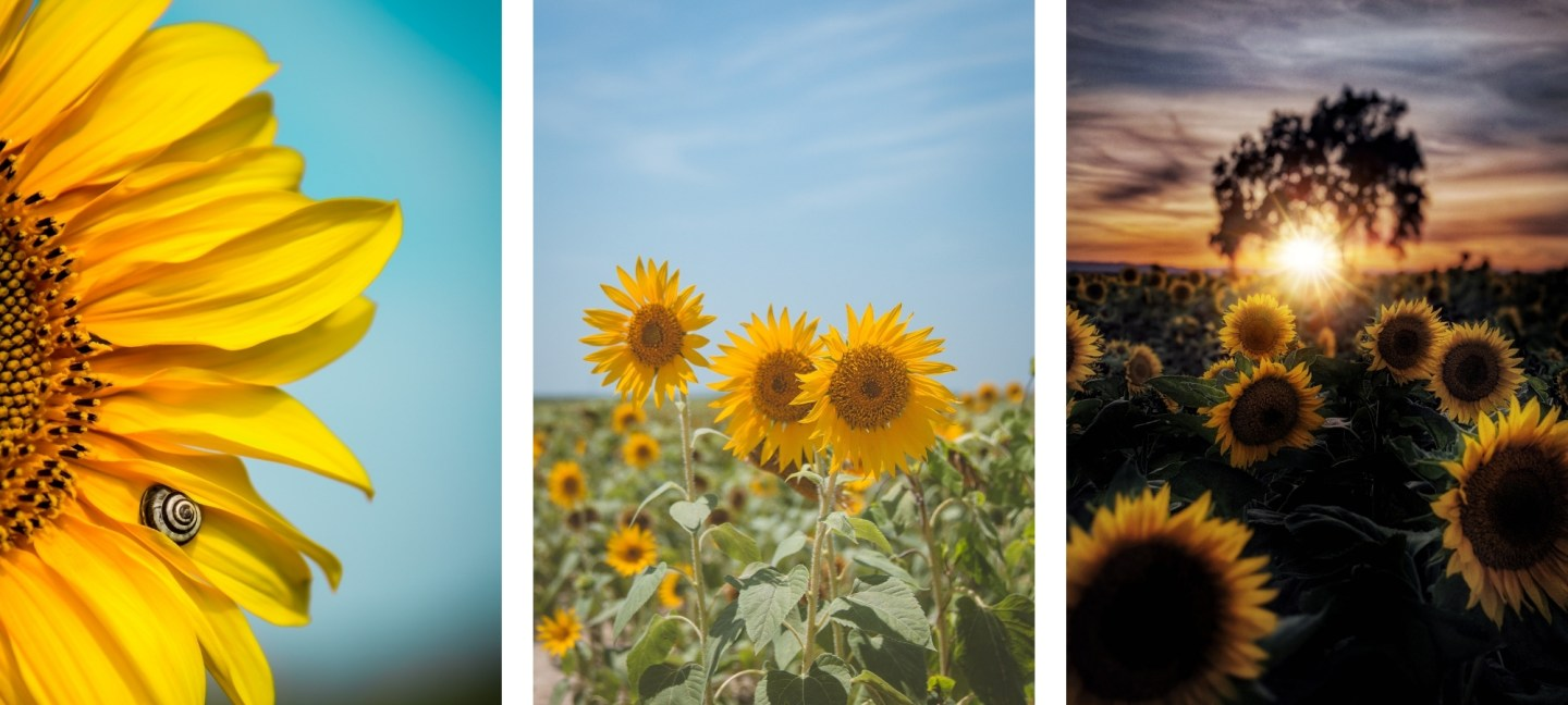 cute asthetic sunflower wallpapers