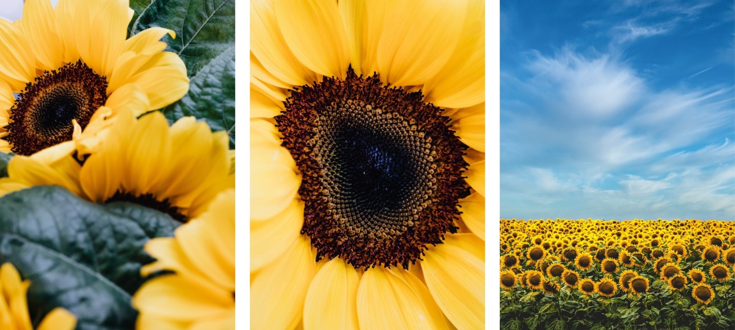 sunflower wallpapers for iPhone