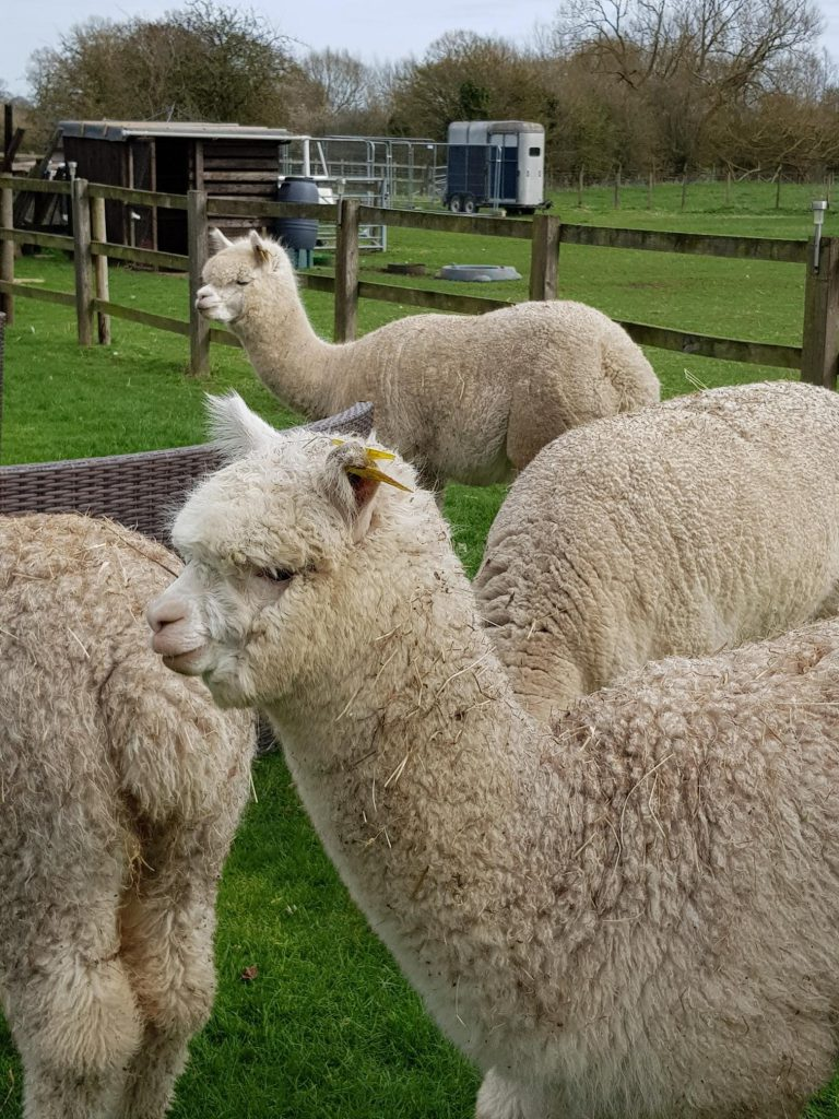 THE LAW WITH ALPACAS – A WORK/LIFESTYLE BALANCE