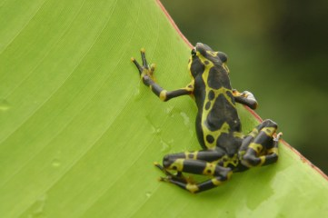 Frog Colombia