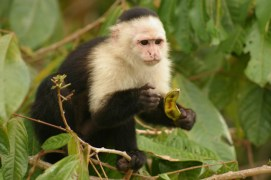 white-faced capuchin, Panama