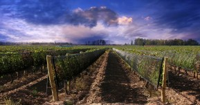 vineyard Mendoza