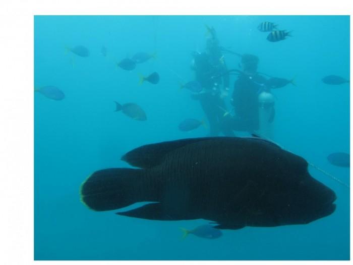 Napoleon-Lippfisch, Great Barrier Reef