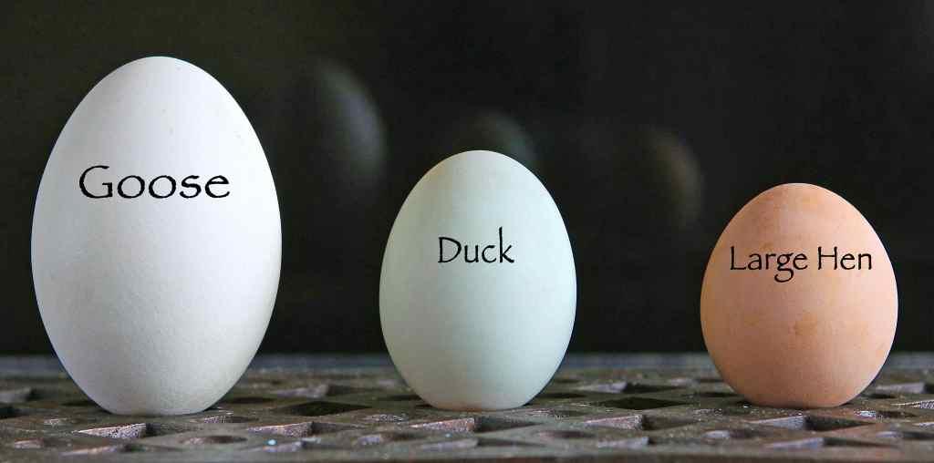 egg-size-hen-duck-goose