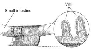 Small Intestine Villi