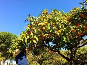 adventures of a gluten free globetrekker Valencia oranges