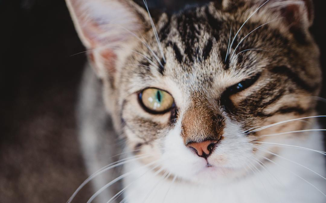 Treat osteoarthritis in cats with green-lipped mussel oil