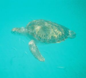 Green Turtle, Barbados