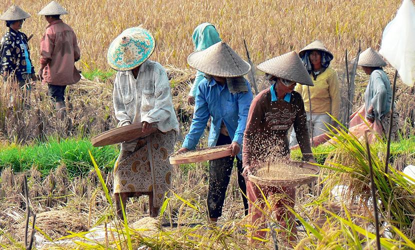 Farmers manually threshing the rice