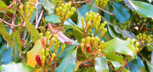 The_flowers_of_clove_tree_in_Pemba_island