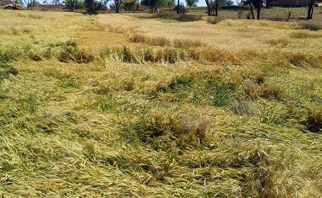 farmer-crop-devastated