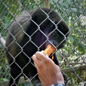 Volunteer feeding a howler monkey a piece of mango