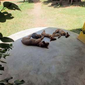 Dog and her puppies laying on the patio