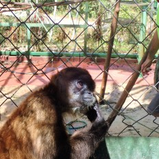 Spider monkey sitting as if he's pondering the meaning of life