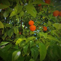 Valencia oranges in a tree