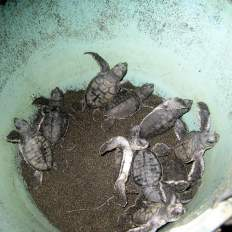 Baby sea turtles in a bucket in Costa Rica