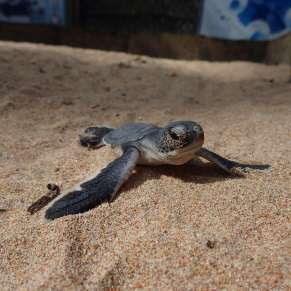 Baby green sea turtle in the sand