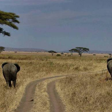 Elephants walking along dirt road in Tanzania