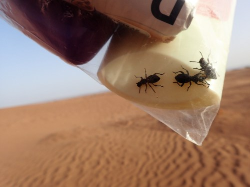 Beetles in a plastic bag in the Sahara desert
