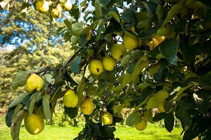 /cms/uploads/image/file/602185/cydonia-robusta-quince-tree.jpg