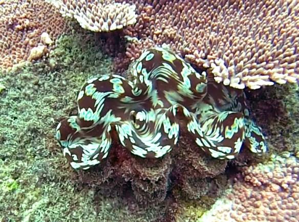 Coquillage Belitung Indonesie