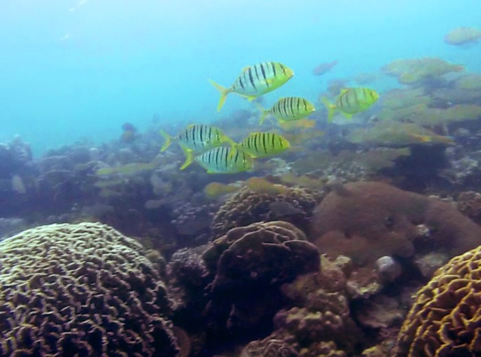 Poissons jaunes rayes Belitung Indonesie